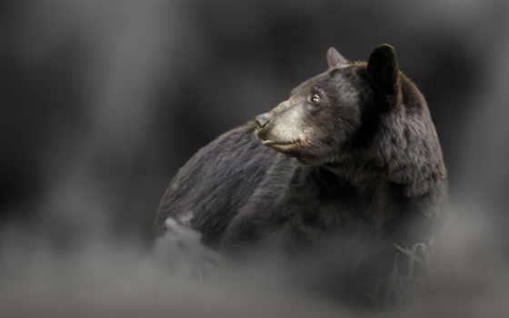 медведь, zhivotnye, chasse, страсть, desktop, augusta, chasseurs,