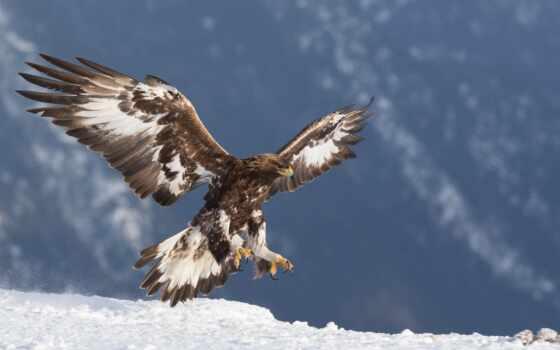 berkut, хищник, птица, орлан, animal, снег, картинка, красивый, золотистый