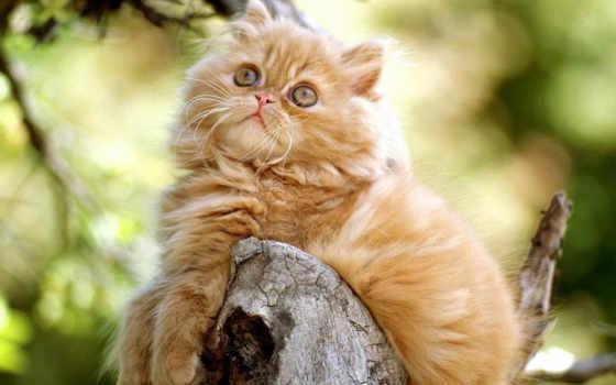 kitten, persian, orange, wallpaper, hd, животные, котенок, музыка,