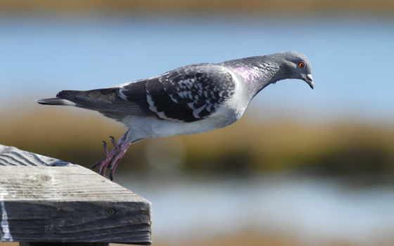 голубь, животные, птица