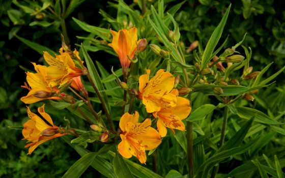 alstroemeria, flowers, цветы