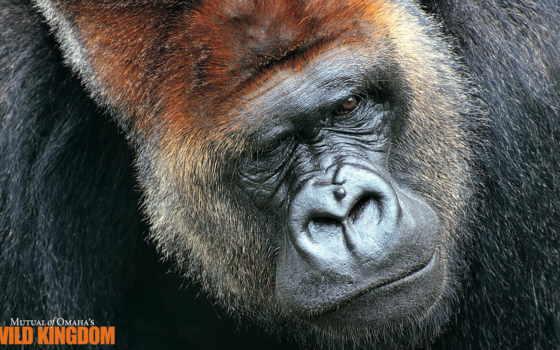 горилла, pinterest, animals, pin, medeiros, silverback, обезьяна,
