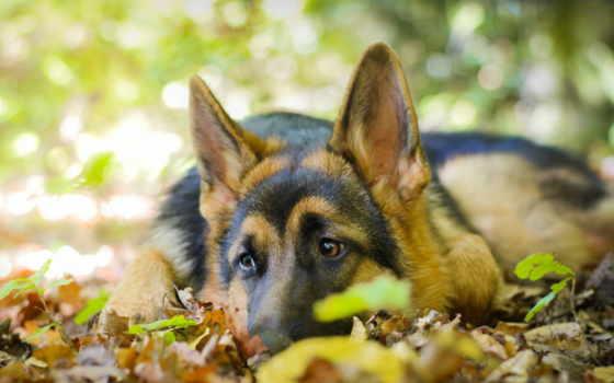 allemand, berger, ecran, art, fond, chien, fonds, animaux, german, овчарка,