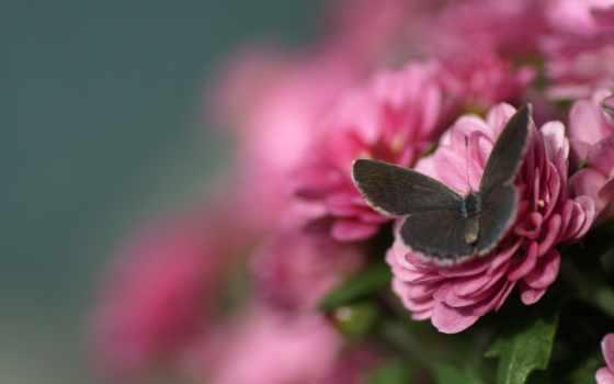 cvety, розовые, макро, размытость, бабочка, pin,