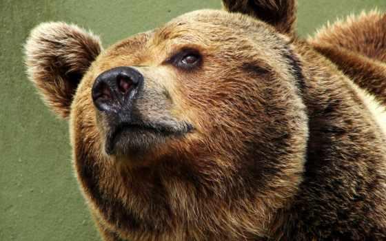 медведь, морда, медвежья, марки,