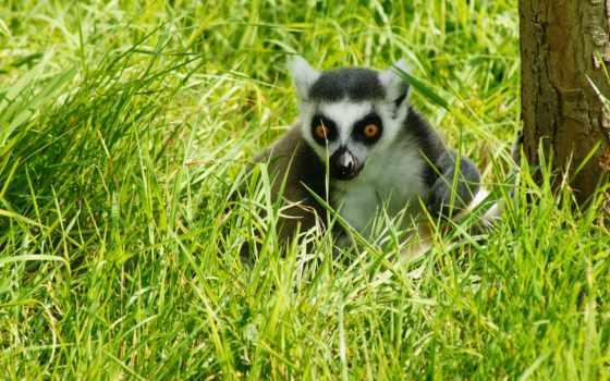 lemur, животные, wild, animal, smartphone, телефон, oxana, ringstaartmaki, mobile,