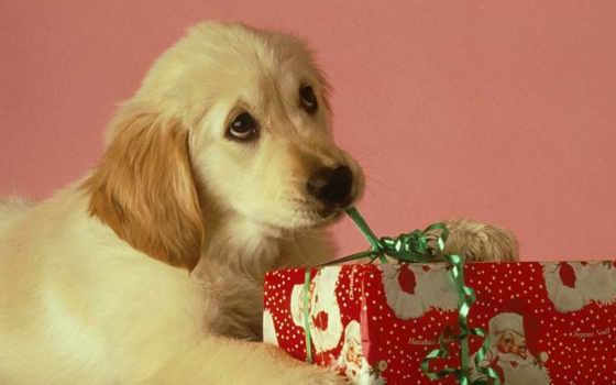 desktop, iphone, взгляд, download, когда, picture, christmas, nội, щенок, лабрадор, dog, подарок, годом, новым, mit, einem, von, geschenk, раскрывает, לכלב,