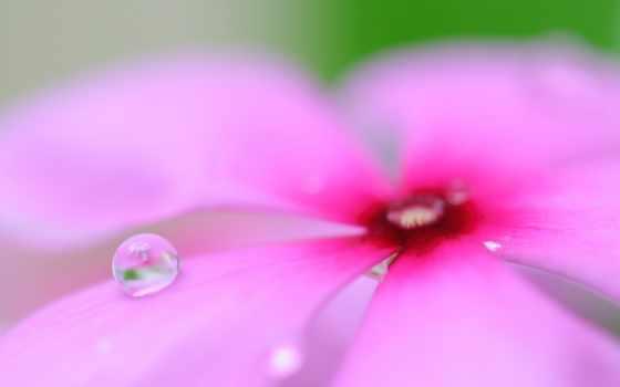 розовый цветок капля