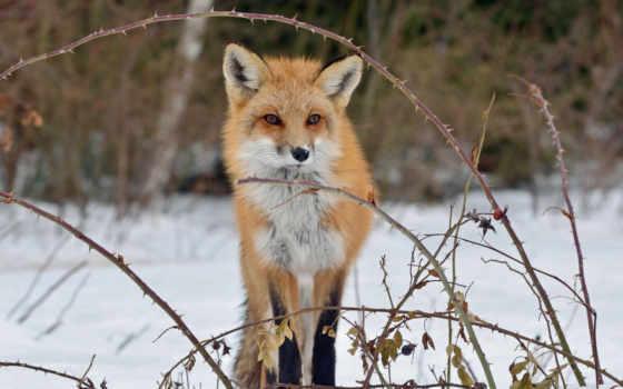 fox, snow, лиса