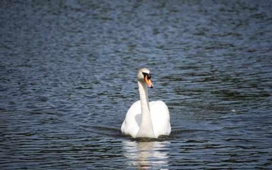 животные, лебеди, категории, water, белые, white, телефон, птицы,