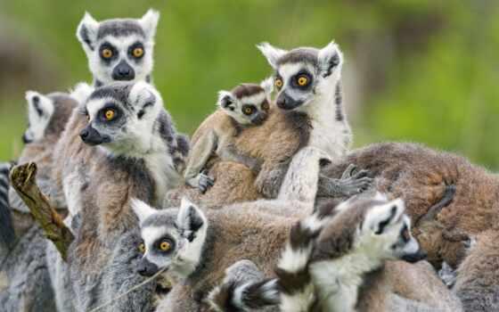 lemurs, семья, животные