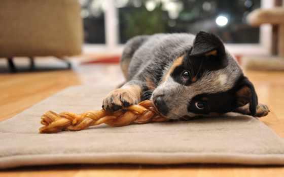 tapety, psy, tapeciarnia, собака, pulpit, коровы, australian, пл, zwierzęta, pies,