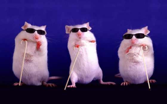 mice, жалюзи, три, восстановить, images, питомник, scientists, грызуны, мыши,