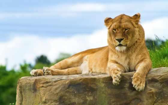отдых, лежит, лев, камне, картинку, картинка, lioness, lying, кнопкой, мыши, rock, desktop, ecran, fonds,