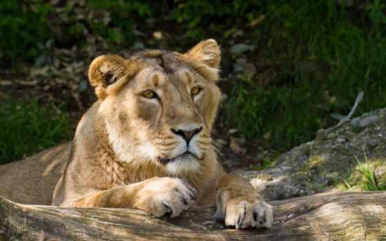 лев, отдыхает