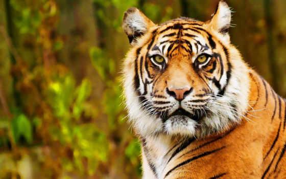 тигр, zhivotnye, grafika