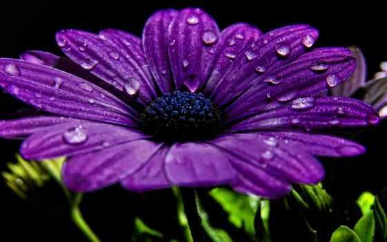 purple, цветы, лепестки