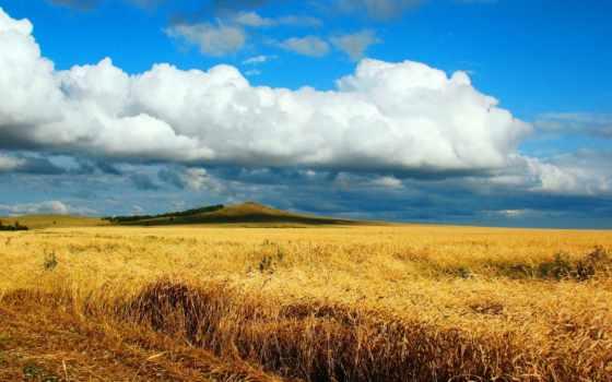 поле, пшеницы, песнь