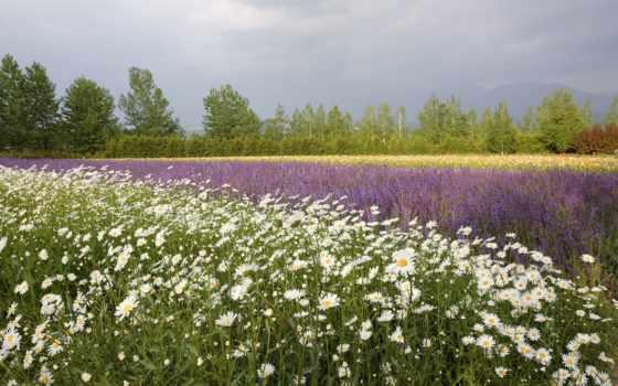 поле, ромашки, цветы, маки, рoмашек, summer, trees, горизонте,