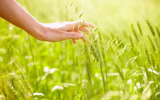 rye, поле, рука, овёс, пшеница, sun, макро, свет,