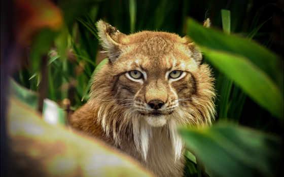 bobcat, рысь, free