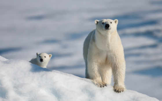 животные, like, снег, мишки, картинка,