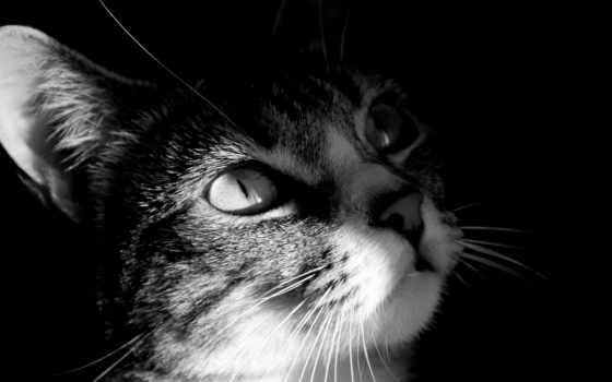 чёрно, белые, кошки, фотографий, кот, white, котов,