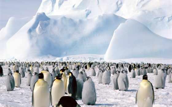 пингвины, площадь, zhivotnye