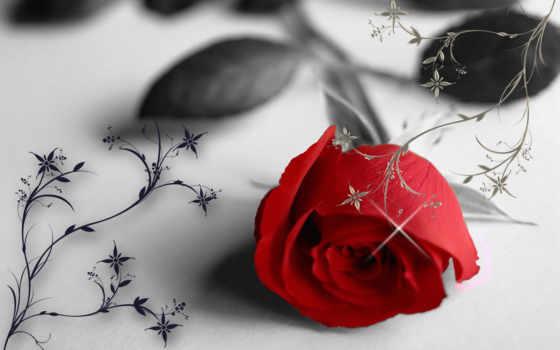 роза, red, flowers, цветы, high, free, pretty, фон,