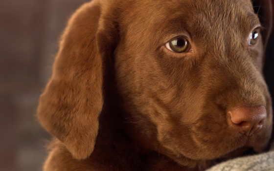 собак, labrador, породы, собака, щенок, chocolate, собаки, retriever,