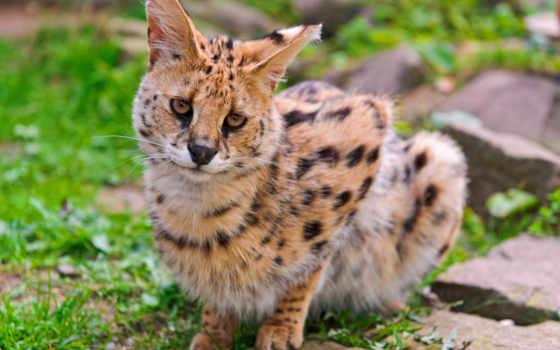 сервал, кот, кустарниковая, стройная, кошачьих, длинноногая, янв, представительни,
