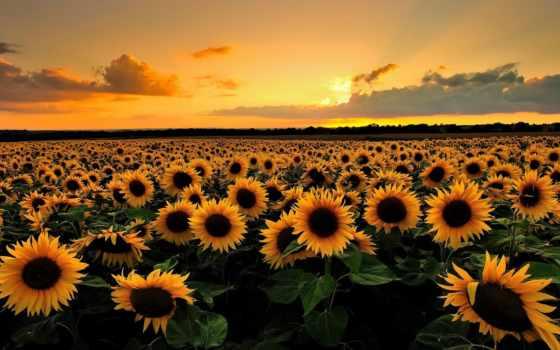 природа, full, cvety, summer, подсолнухи, поле,
