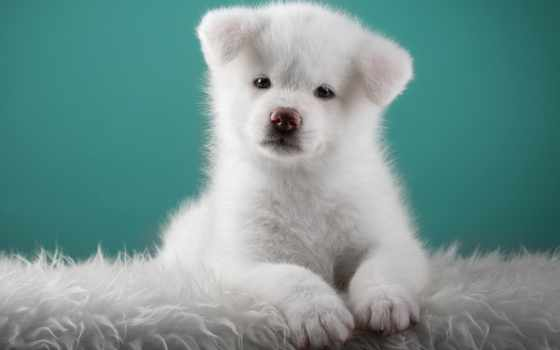 white, щенок, nice, акита, японская, desktop, страница, сборку, браун, волк,