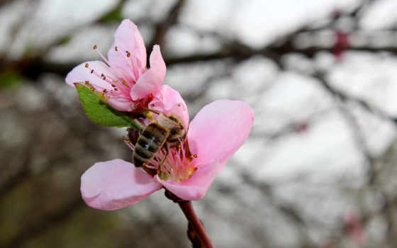 весна, персик, flowers, изображение, картинка,