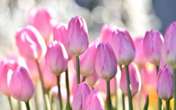 тюльпан, cvety, card, коллекция, природа, красивый