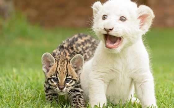 оцелот, детёныш, кот, белого, тигра, котята, дикая, lion, детеныши, рейтинг, кошки,
