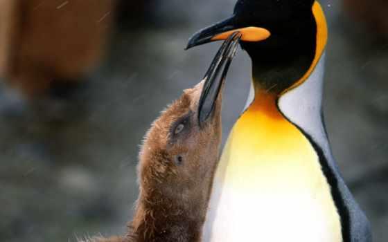 птицы, пингвин, пингвины