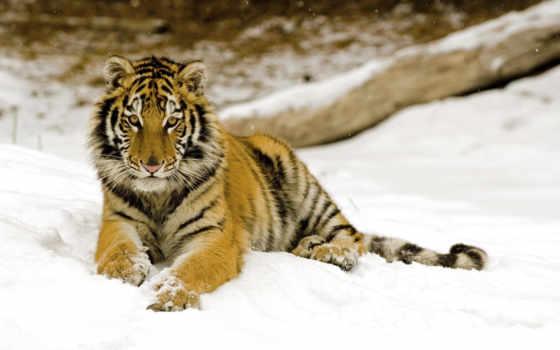тигр, самых, февр, уссурийский, фотографий,