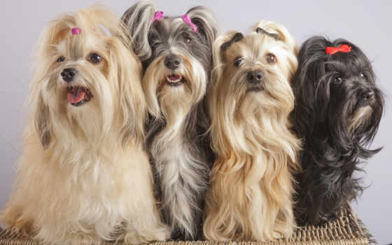 апсо, lhasa, собаки, фото, зооклубе, картинка, зооклуб, tapety, havanese, pinterest,
