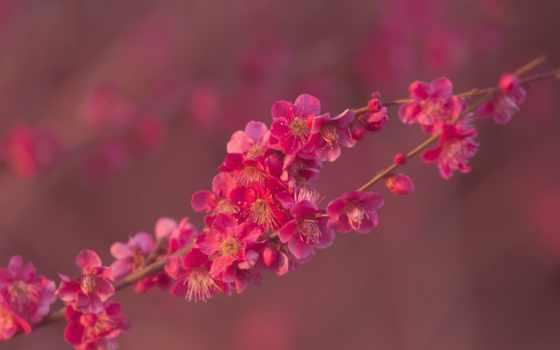 shoujo, абрикос, розовый, branch, весна, desktop,