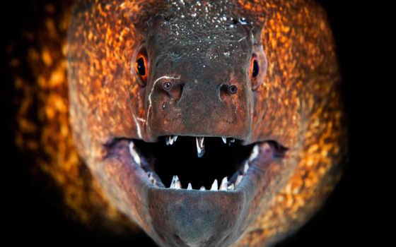 мурена, fish, пасть, зубы, макро, zhivotnye, pisces,