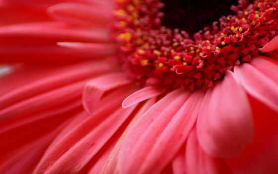 gerbera, макро, цветы, cvety, герберы,