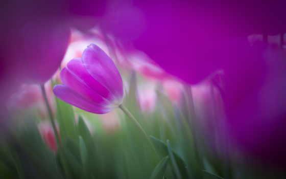 keukenhof, tulpen, pics, foto, tulips, photos, dutch, spring, you, siebe,