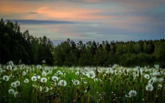 теме, поле, одуванчики, goodfon, природа, dandelions, desktop,