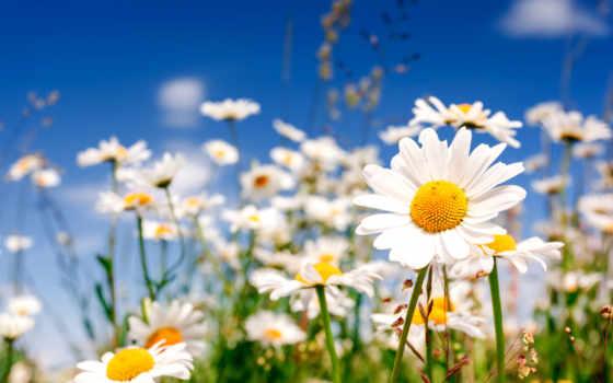 ромашки, поле, cvety, краю, ромашка, маки, flowers, сообщений,