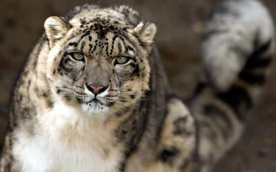 леопард, снег, снежного, барса, zhivotnye, морда, ирбис, кошки, cats, широкоформатные,