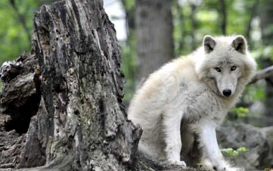 волк, canis, lupus