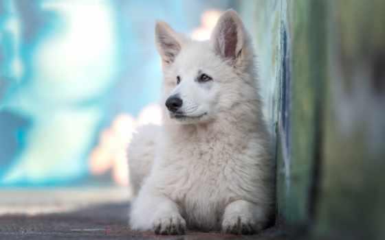 weiße, hunderassen, schäferhund, branco, und, schweizer, овчарка, les, pastor, mit, suisse,