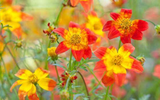 gullar, цветы, zinnia, гуль, angustifolium, tashkent, лола, оранжевый, размытость