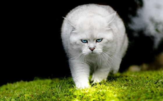 кот, white, blue, глаз, трава, биг, взгляд, красивый, котенок, фото